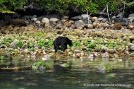 Black bear near Tofino, BC