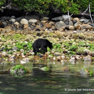 Black bear near Tofino, BC